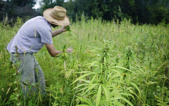 Cannabis farmer