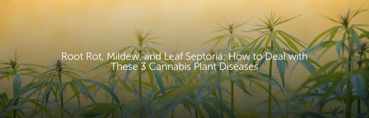 Root Rot, Mildew, and Leaf Septoria: How to Deal with These 3 Cannabis Plant Diseases