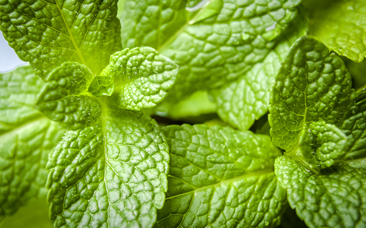 Benefits of Cannabis Terpenes – ocimene, occurring in cannabis and mint