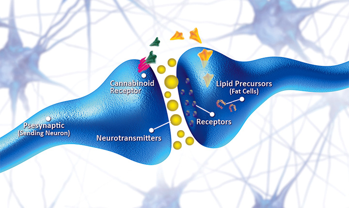 Cannabinoid receptors and neurotransmitters