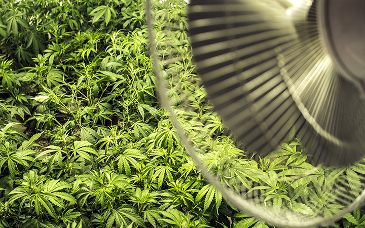 Growing marijuana indoors: Cannabis plants receiving air from a fan