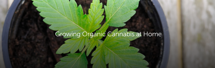 Growing Organic Cannabis at Home