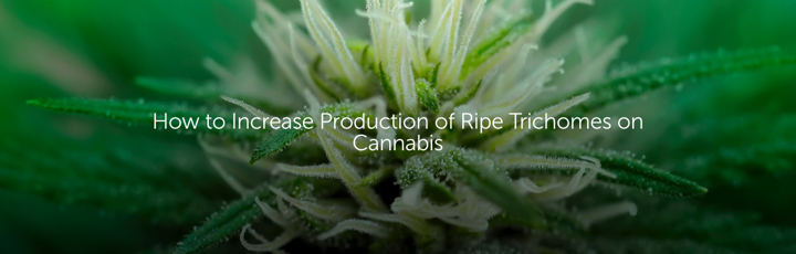 How to Increase Production of Ripe Trichomes on Cannabis