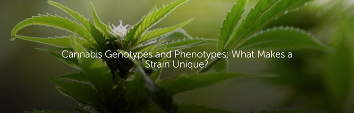 Cannabis Genotypes and Phenotypes: What Makes a Strain Unique?
