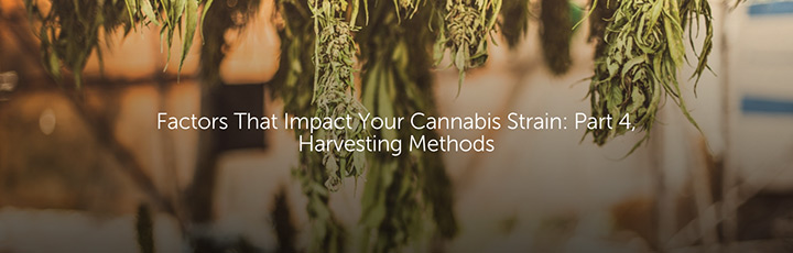 Factors That Impact Your Cannabis Strain: Part 4, Harvesting Methods