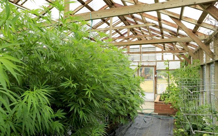 Greenhouse cannabis / hemp being grown