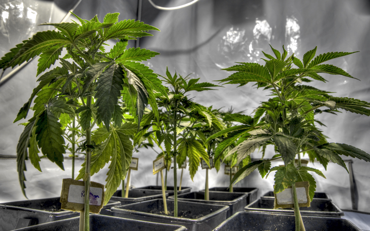 Young cannabis plants