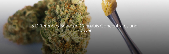 5 Differences Between Cannabis Concentrates and Flower