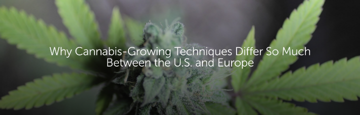 Why Cannabis-Growing Techniques Differ So Much Between the U.S. and Europe