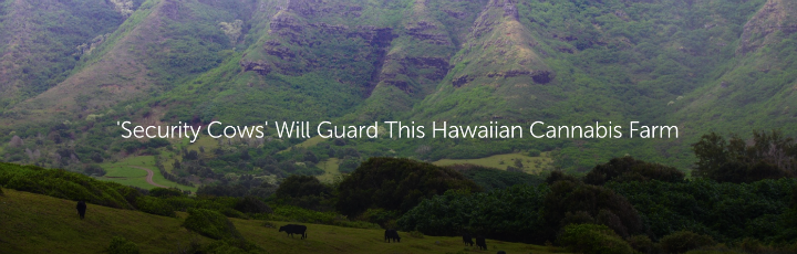'Security Cows' Will Guard This Hawaiian Cannabis Farm