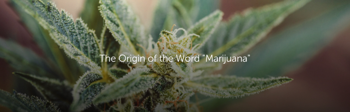 "The Origin of the Word ""Marijuana"""