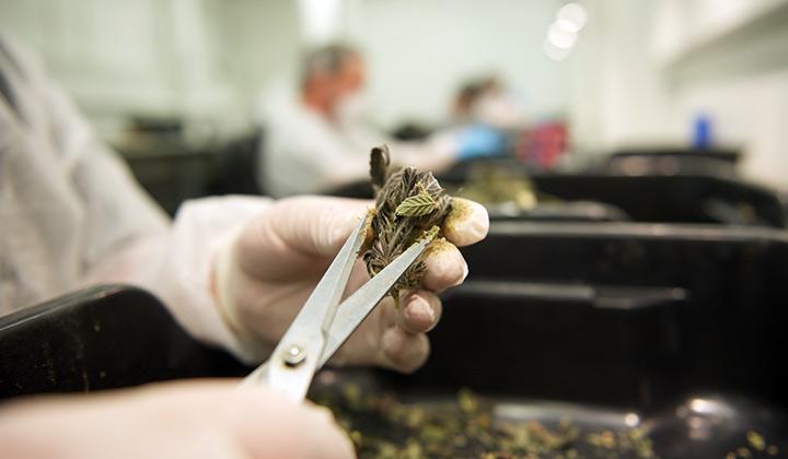Cannabis trimming