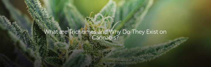 What are Trichomes and Why Do They Exist on Cannabis?