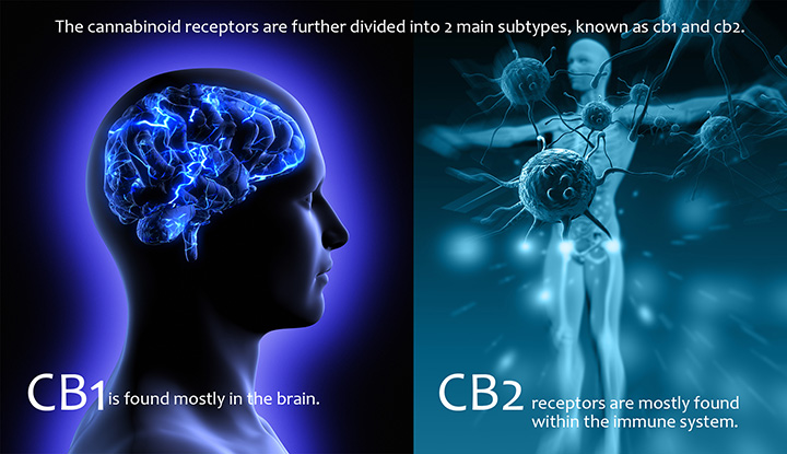 our cb1 and cb2 receptors what are they
