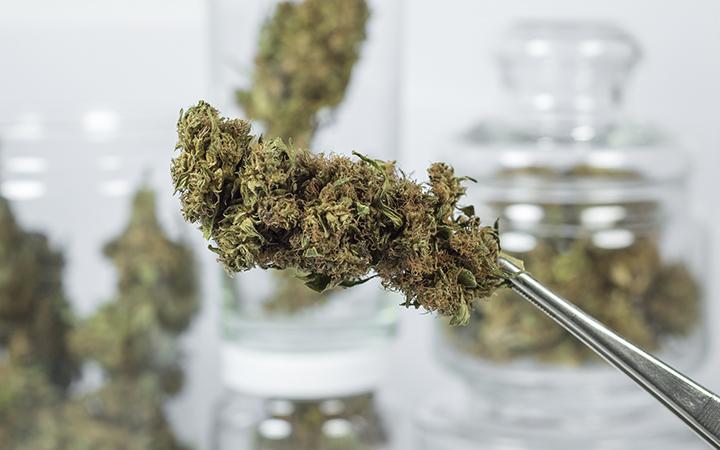 Cannabis bud held by tweezers