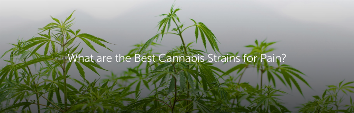What are the Best Cannabis Strains for Pain?