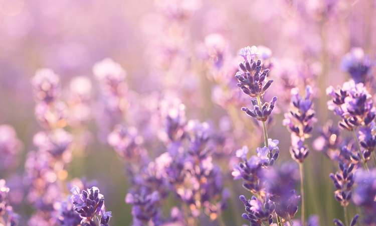 What is the linalool cannabis terpene