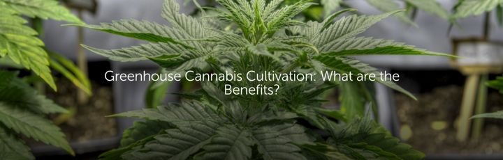 Greenhouse Cannabis Cultivation: What are the Benefits?