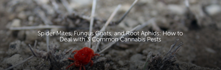 Spider Mites, Fungus Gnats, and Root Aphids: How to Deal with 3 Common Cannabis Pests