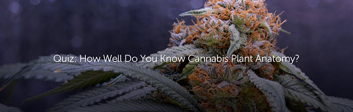 Quiz: How Well Do  You Know Cannabis Plant Anatomy?