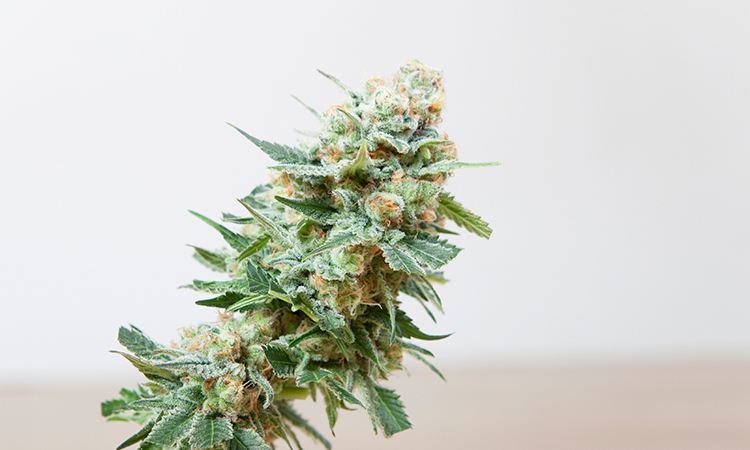 Large cannabis flower in bright room