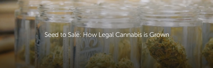 Seed to Sale: How Legal Cannabis is Grown
