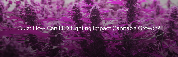 Quiz: How Can LED Lighting Impact Cannabis Growth?