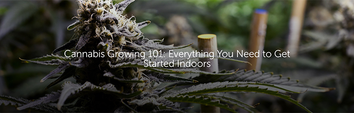 Cannabis Growing 101: Everything You Need to Get Started Indoors