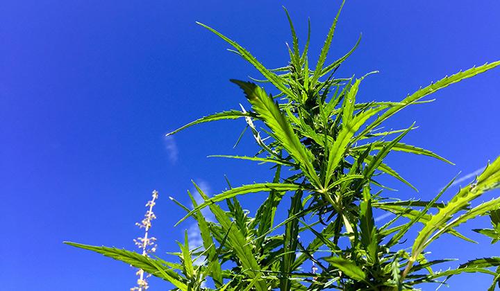 Hemp plant against a blue sky