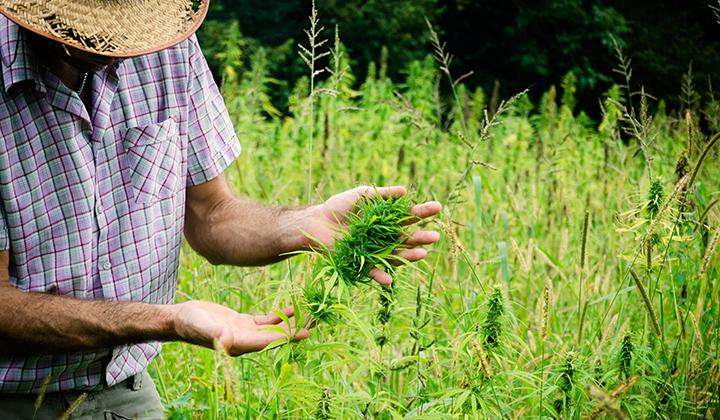 hemp,farm,cannabis,marijuana,leafly