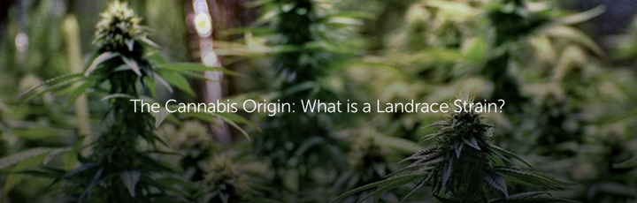 The Cannabis Origin: What is a Landrace Strain?