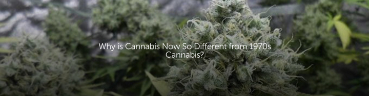 Why is Cannabis Now So Different from 1970s Cannabis?