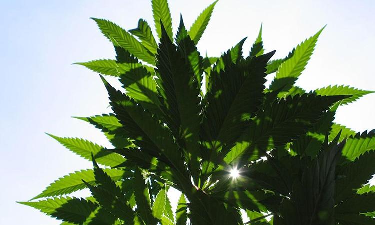 cannabis plant against a sunny blue sky