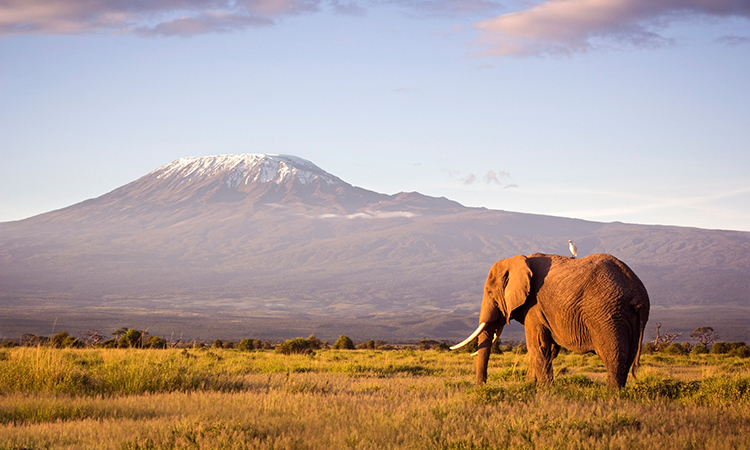 Mt. Kilimanjaro at sunset with elephant in foreground