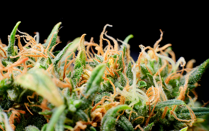 The different types of trichomes on cannabis
