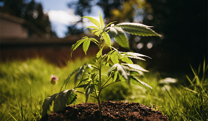Growing marijuana plant