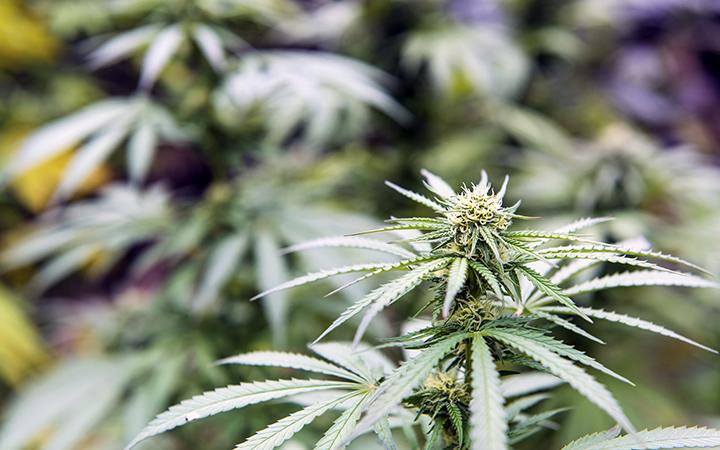 Cannabis crops