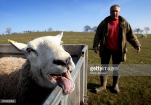 Stock sheep photo by Chris Jackson on Getty Images